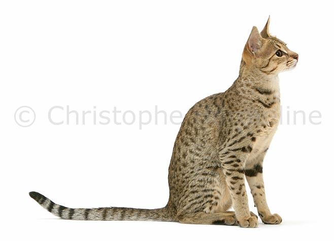 Image de chat de profil image de - Dessin chat assis ...